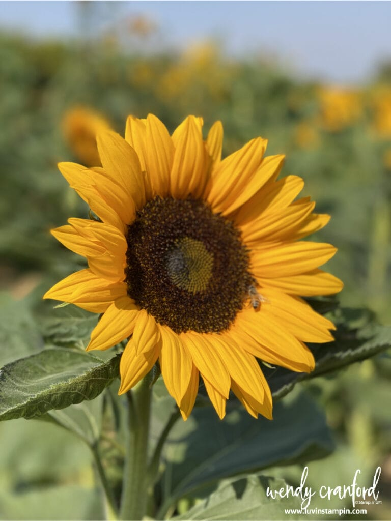 Amador Flower Farm sunflower with a bee friend